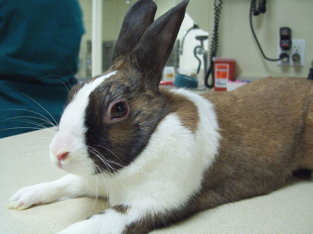 a rabbit that will be neutered in a vet clinic
