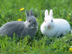 Everything You Need to Know about Neutering or Spaying Your Rabbits
