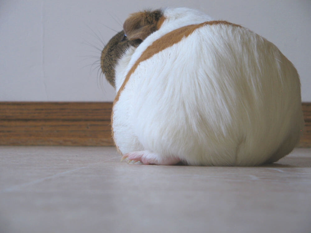 guinea pigs have no tails