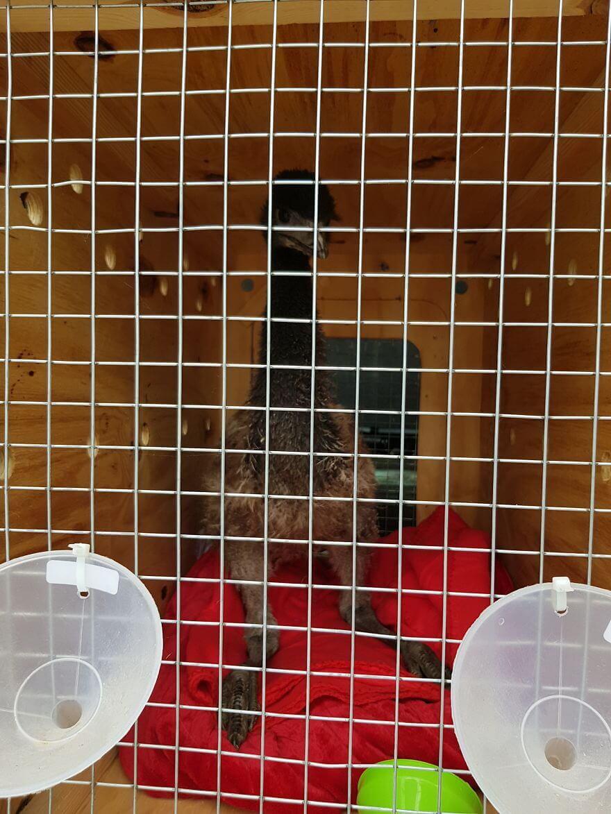 Paul, an emu bird, on her second time on vet