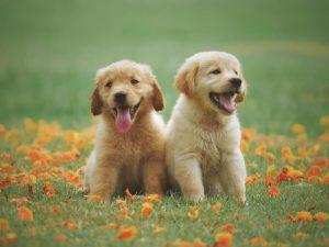 Dog Breeding Licencing Guidelines, Enforced in 2018