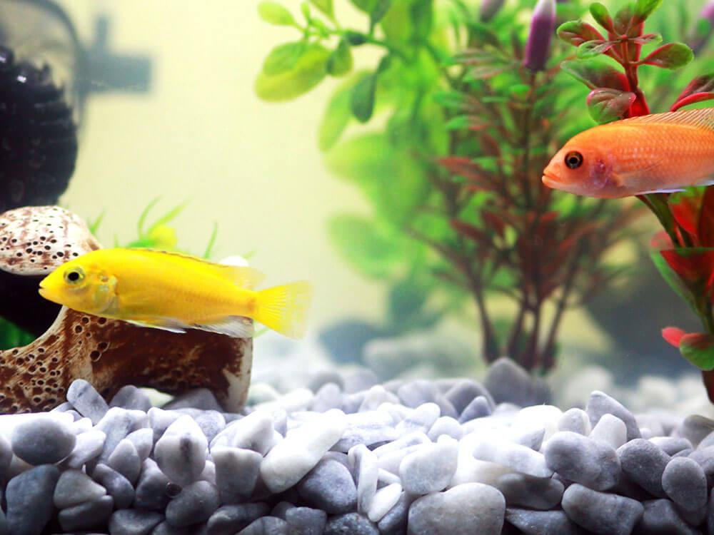 two different color pet fish in the aquarium