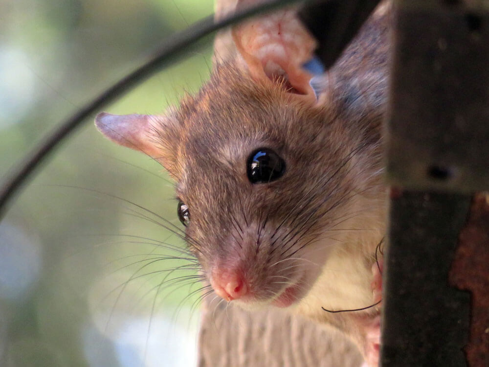 basic guide for rats as pets