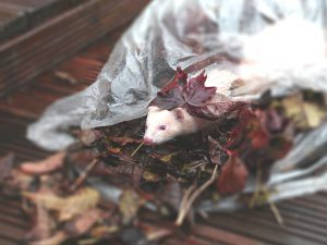 a playful ferret inside a plastic of leaves