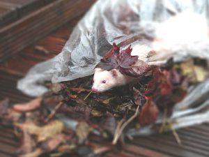 a playful ferret inside a plastic of leaves