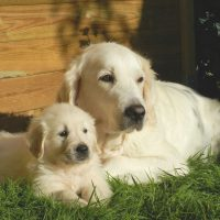 Should You Adopt a Puppy or an Adult Dog?