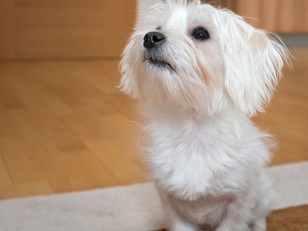 a puppy scolded after peed on the floor