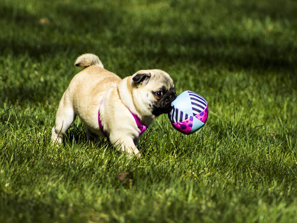 a puppy trained to catch a ball