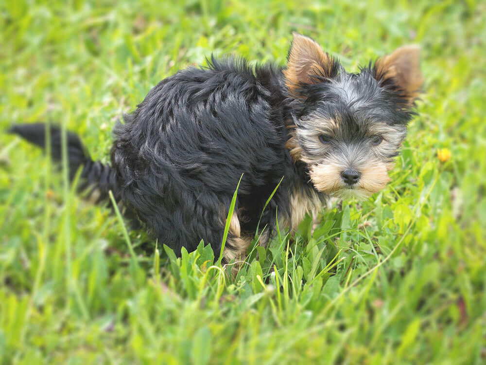 a puppy pooping in the grass