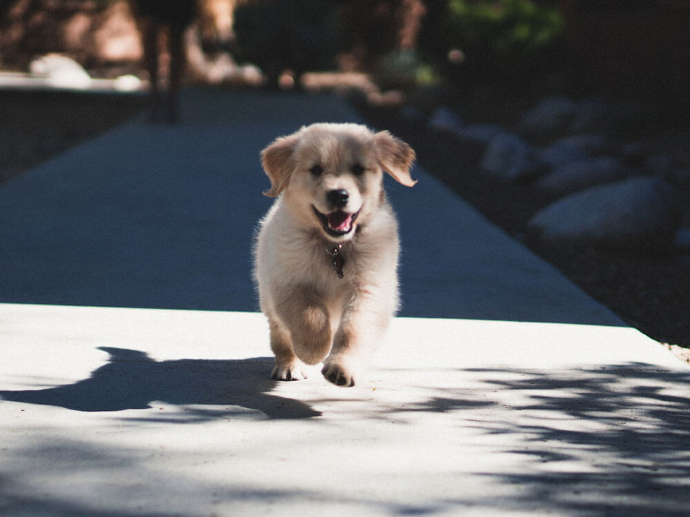 a puppy runs towards its owner after called