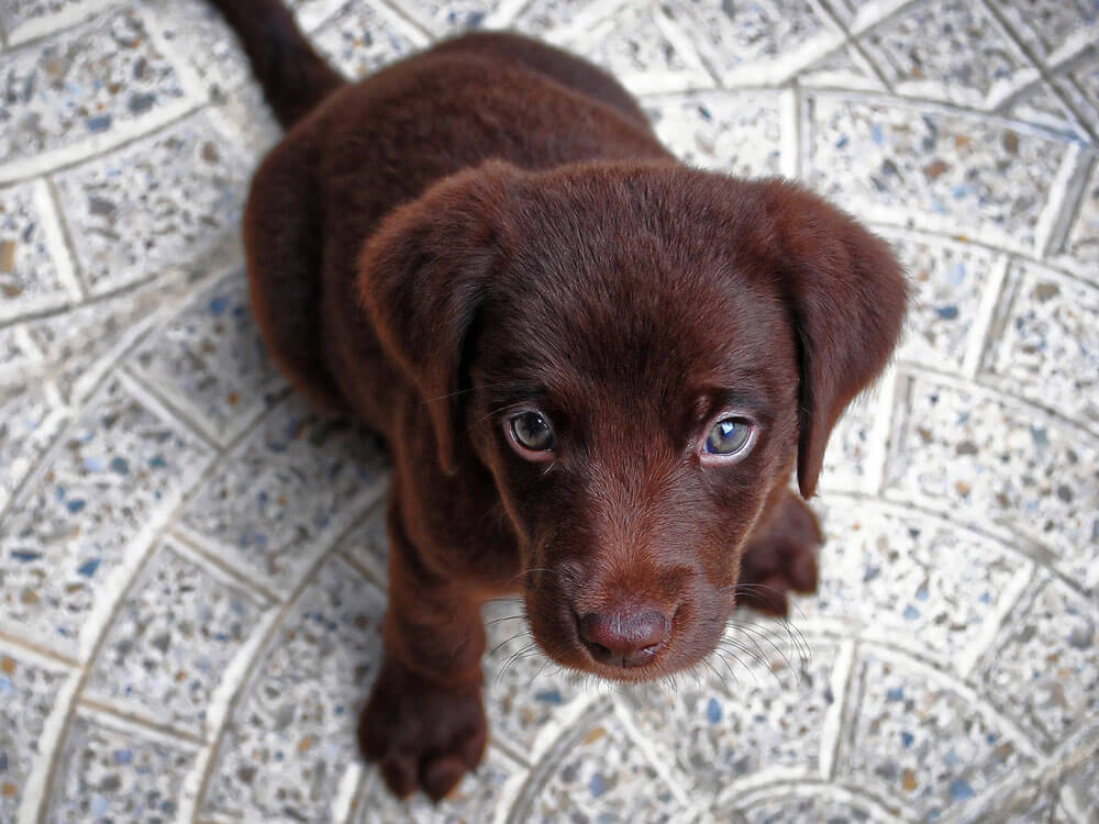 a puppy sitting after its owners command