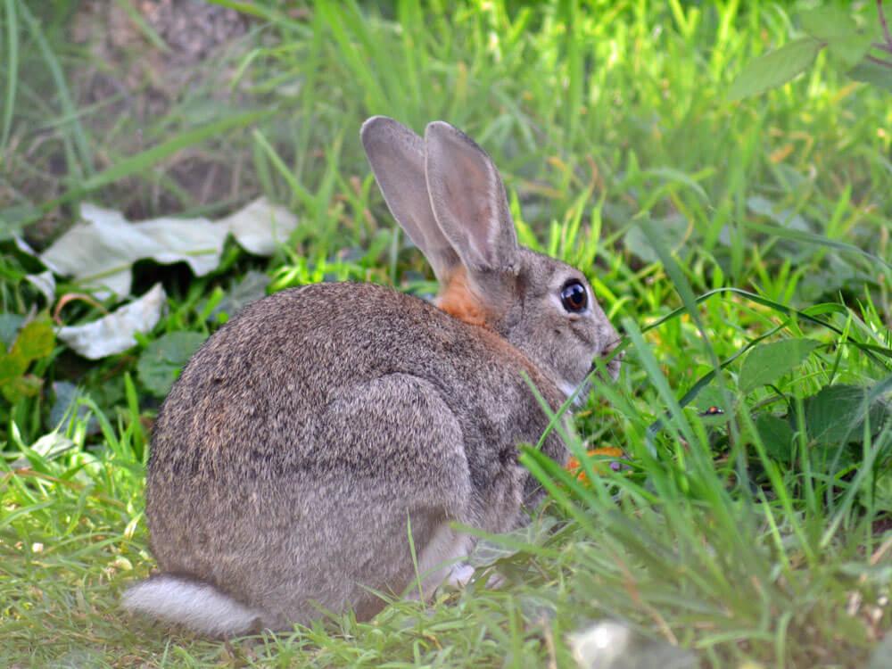 a rabbit attempts to run