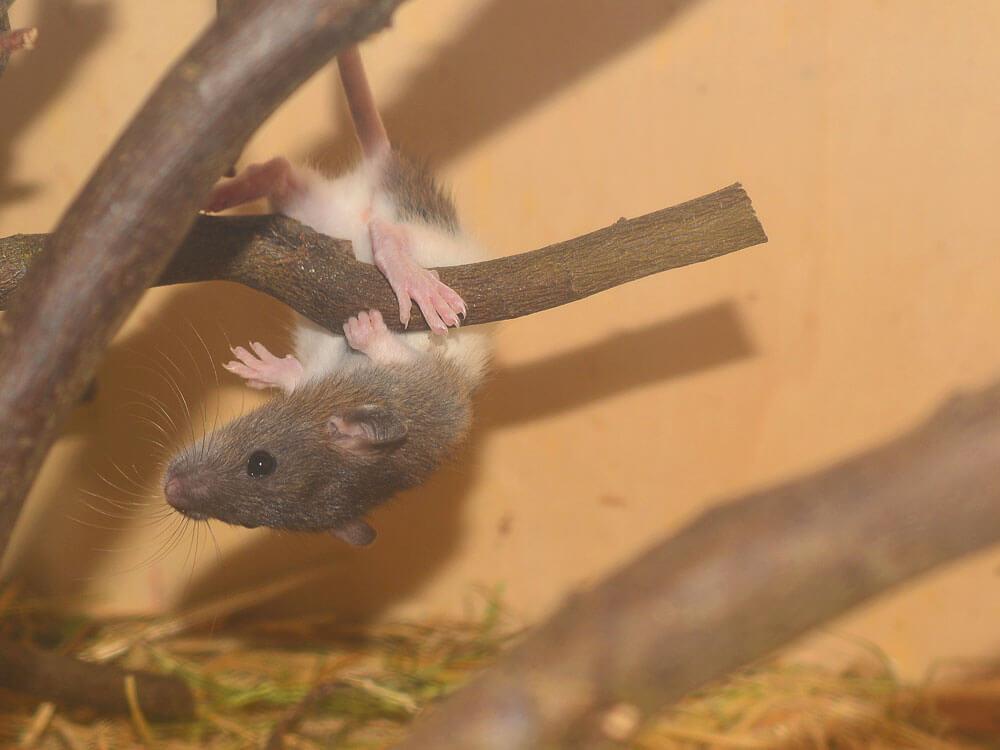 rat climbing in wooden perch