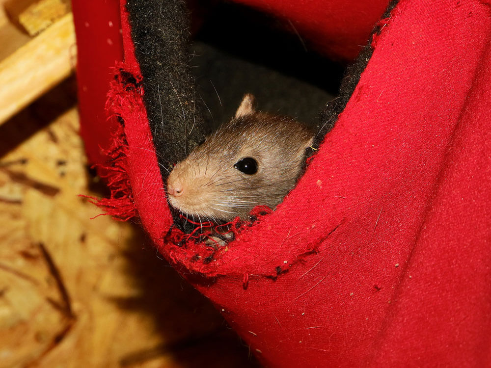 rat hiding on a cloth