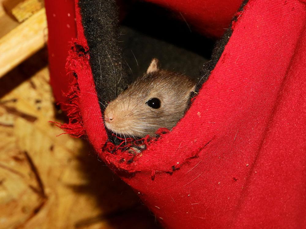 rat hiding on a cloth