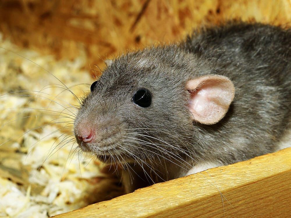 a rat on its mini house