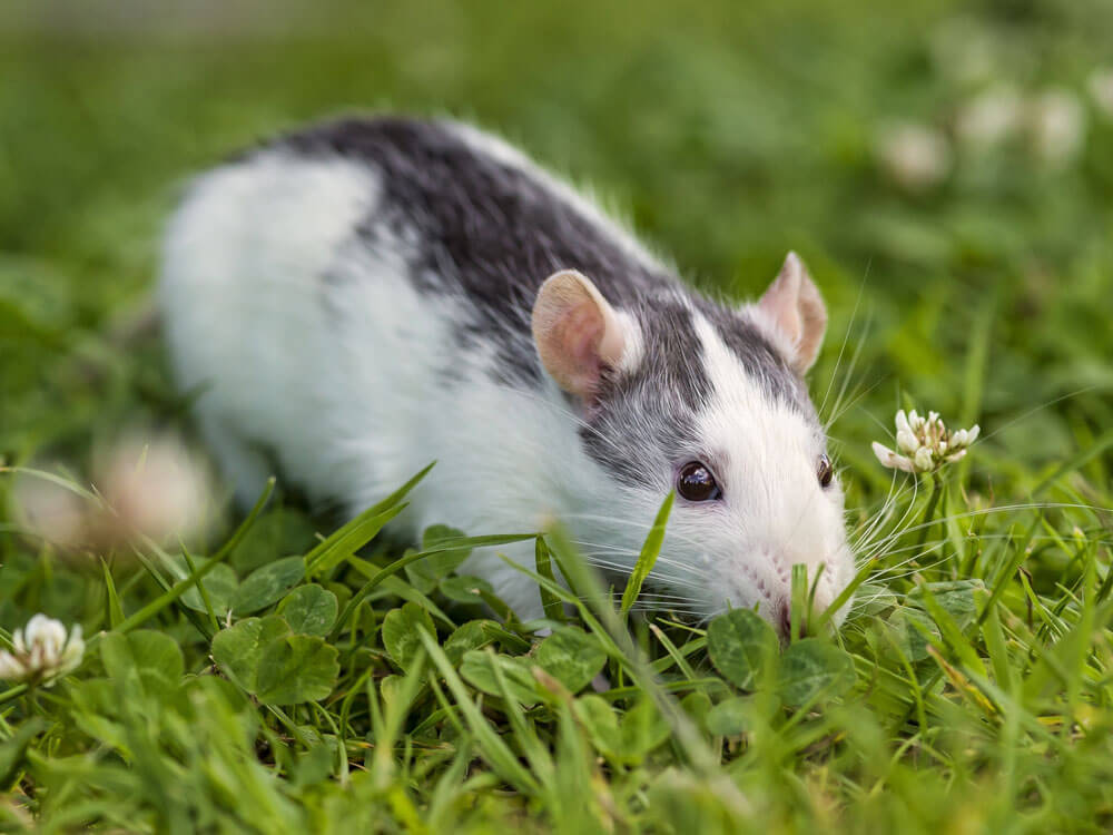 an intelligent rat hiding in the grass