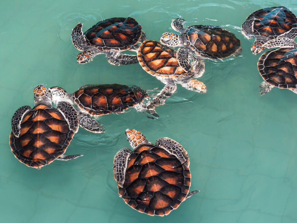 a group of turtles swimming together