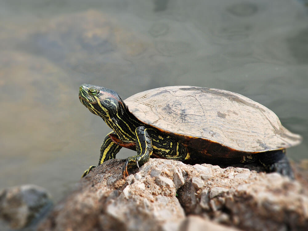 a terrapin basking on the rock