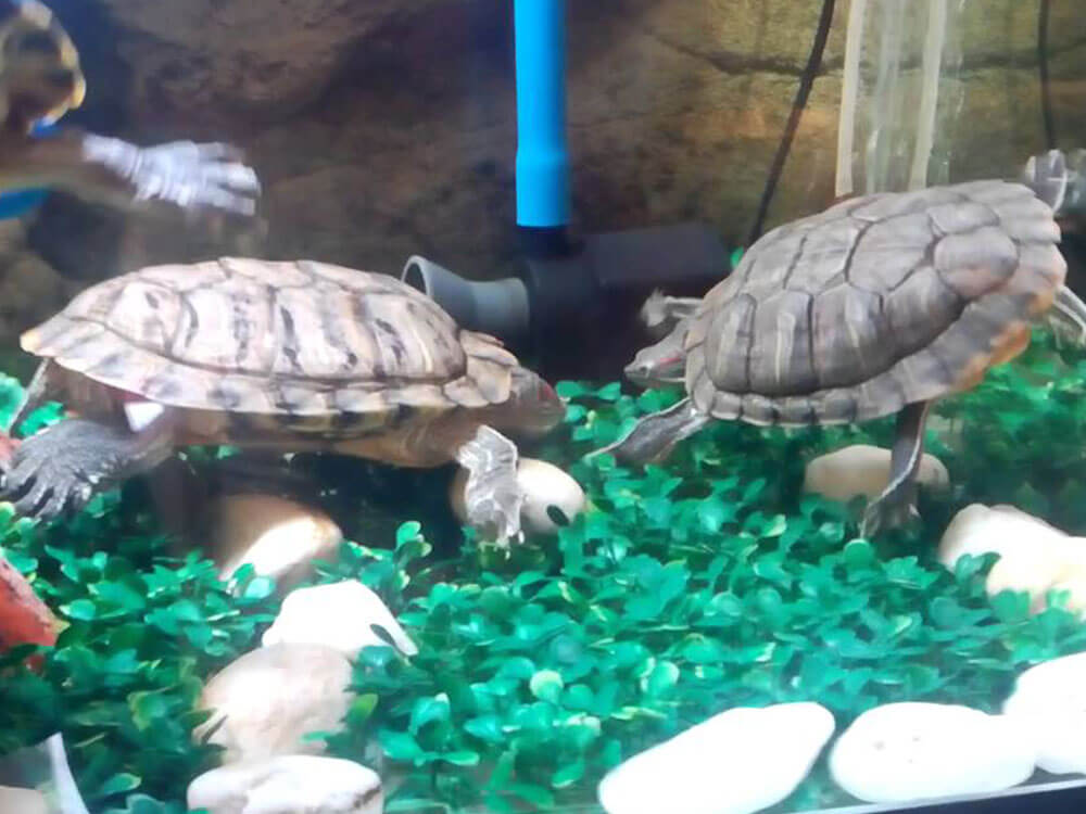 a male terrapin courting the female terrapin