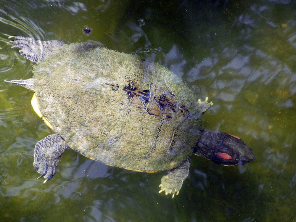 an adult terrapin swimming