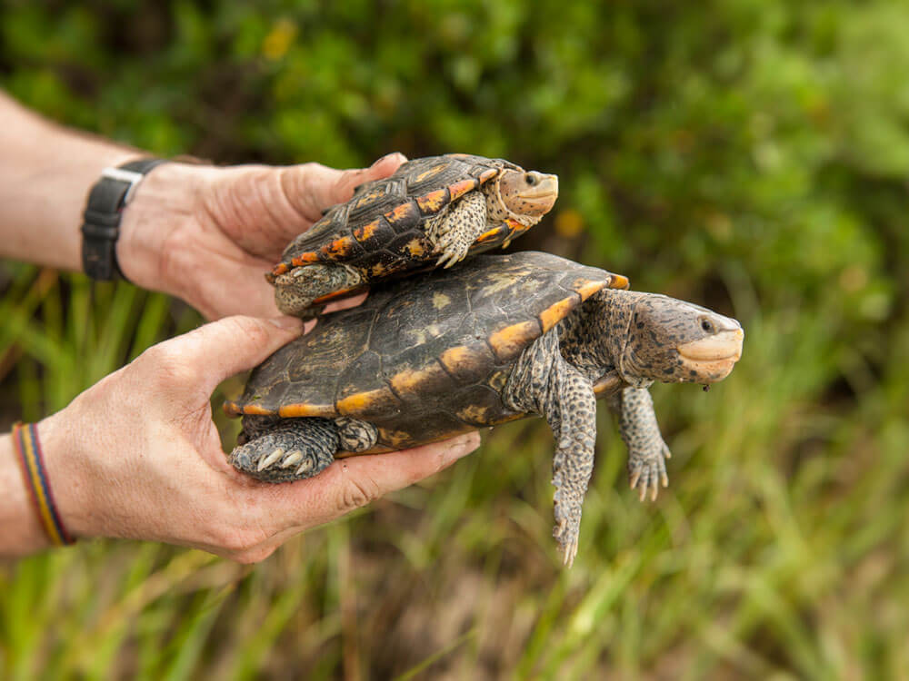 the difference between the size of male and female terrapin