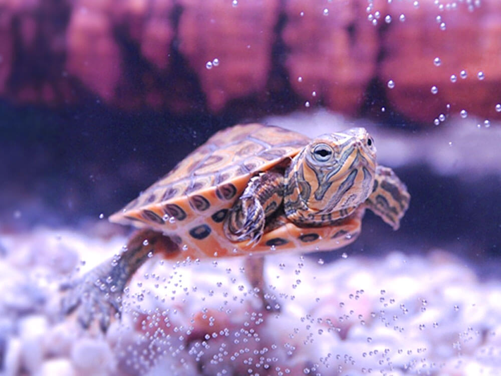 a turtle swimming in a tank