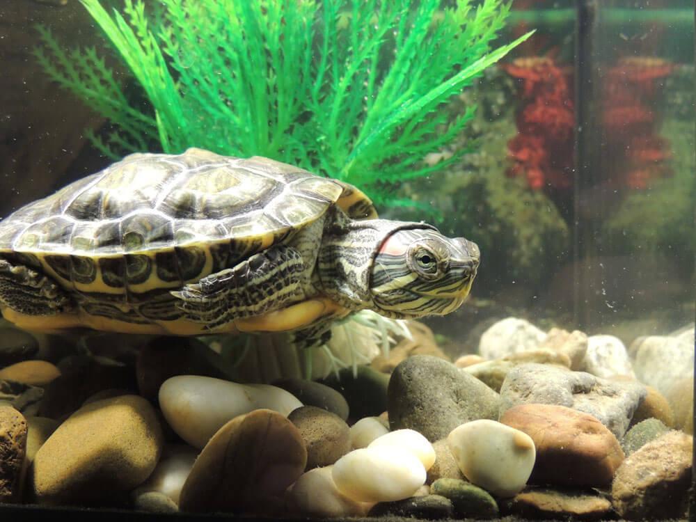 turtle in an aquarium
