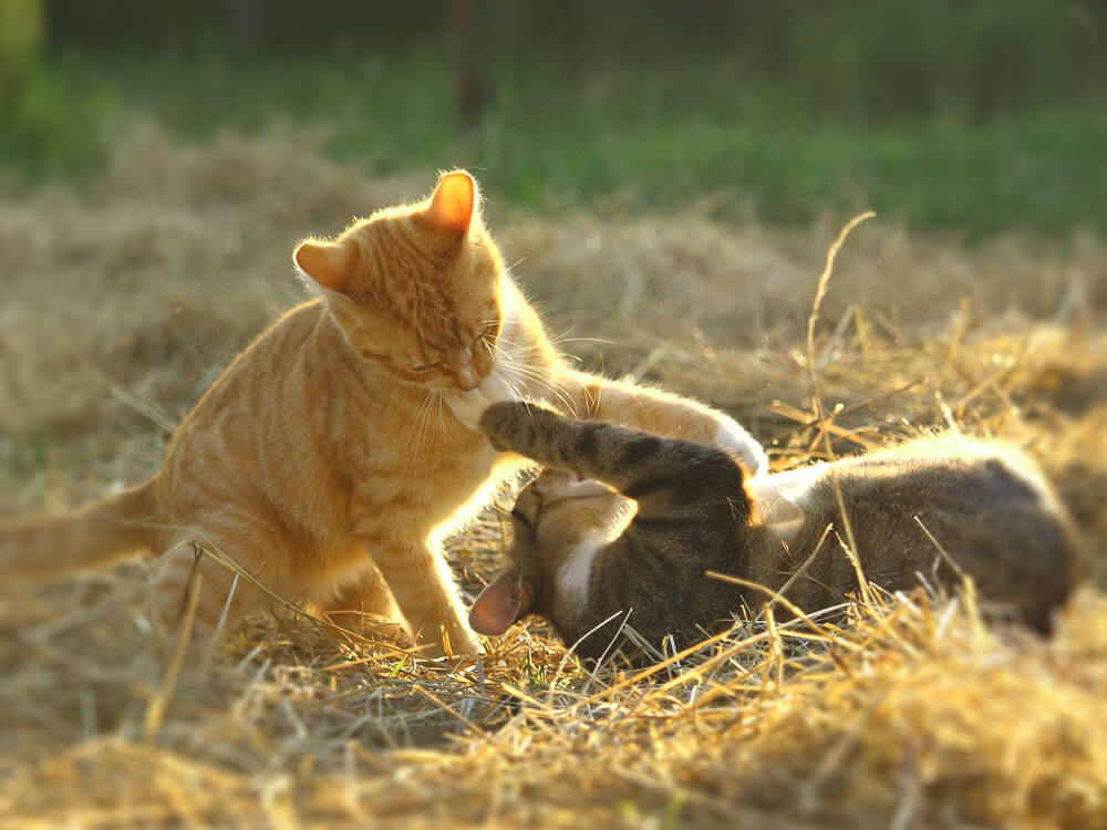 two cats playing together in the field