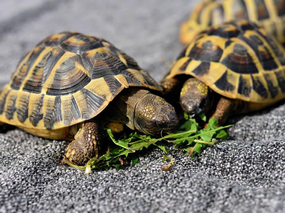 two turtles eating