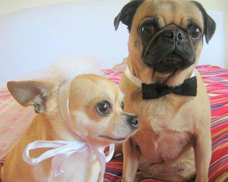 dogs wearing a bride and groom pet custom for Halloween
