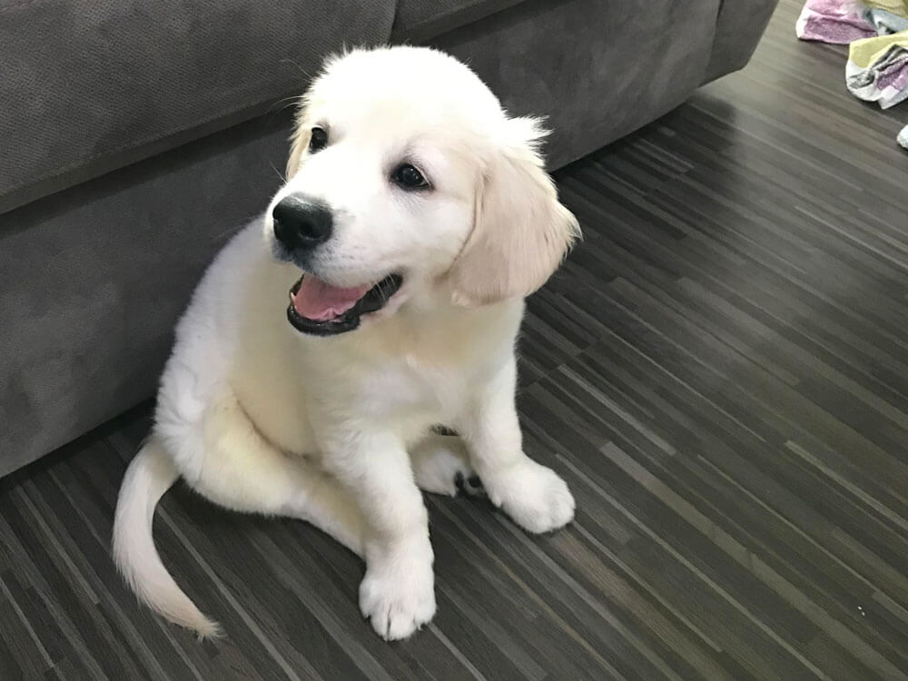 10 weeks golden retriever sitting on the floor