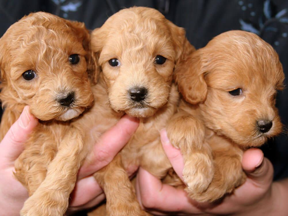 3 weeks puppies