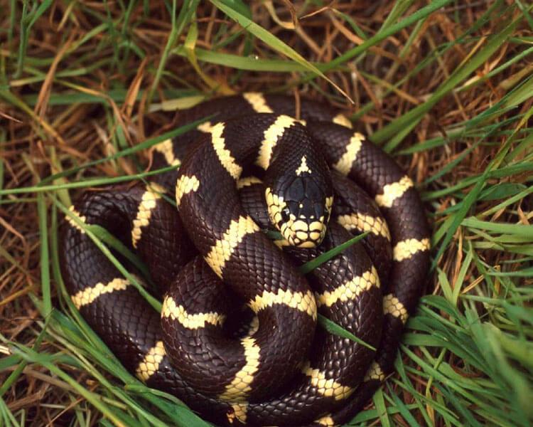 california kingsnake, one of the best pet snakes