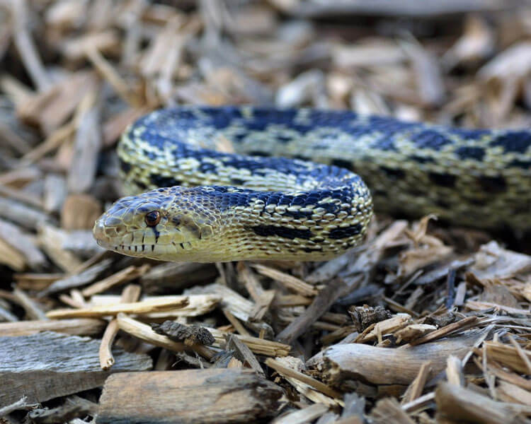 gopher snake, one of the best pet snakes