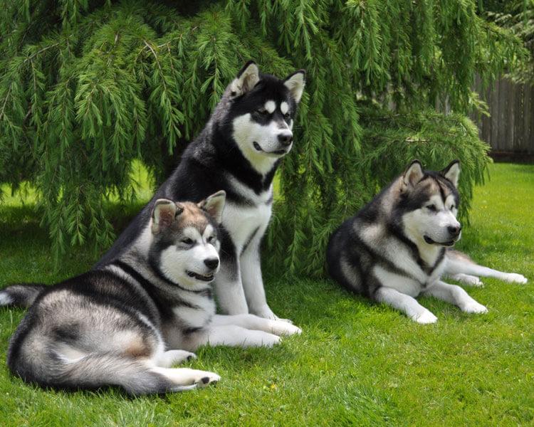 three alaskan malamutes sitting on the grass