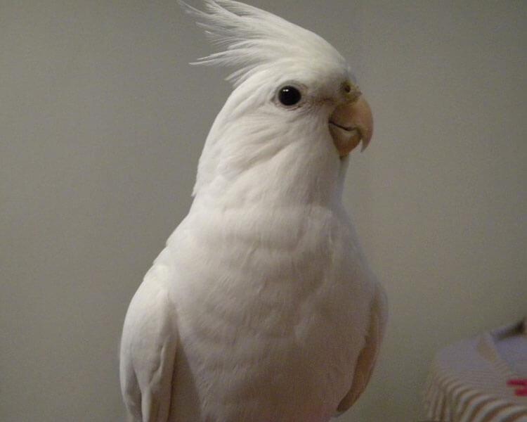 an albino cockatiel
