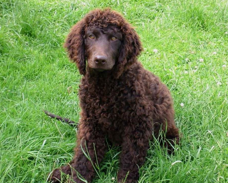 an american water spaniel sitting in the grass field