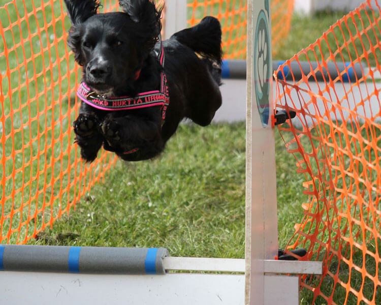 a dog jumps into hurdles with backstop board each side
