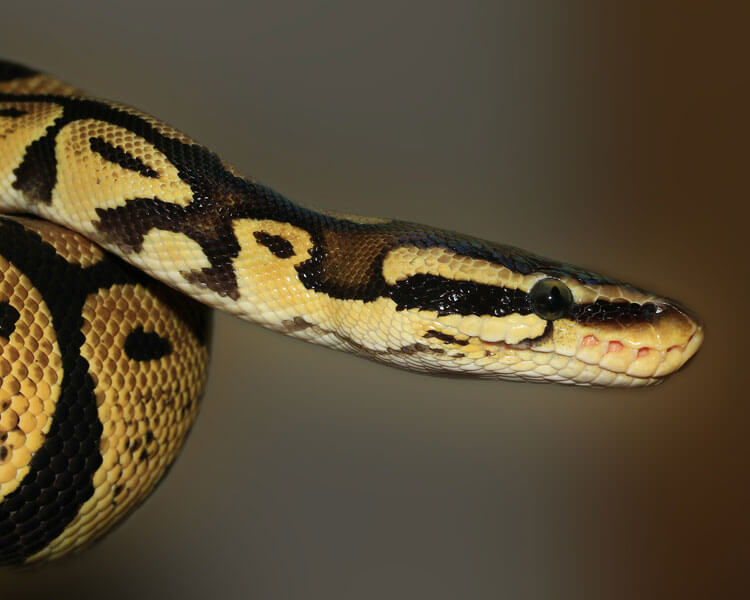 ball python, one of the best pet snakes