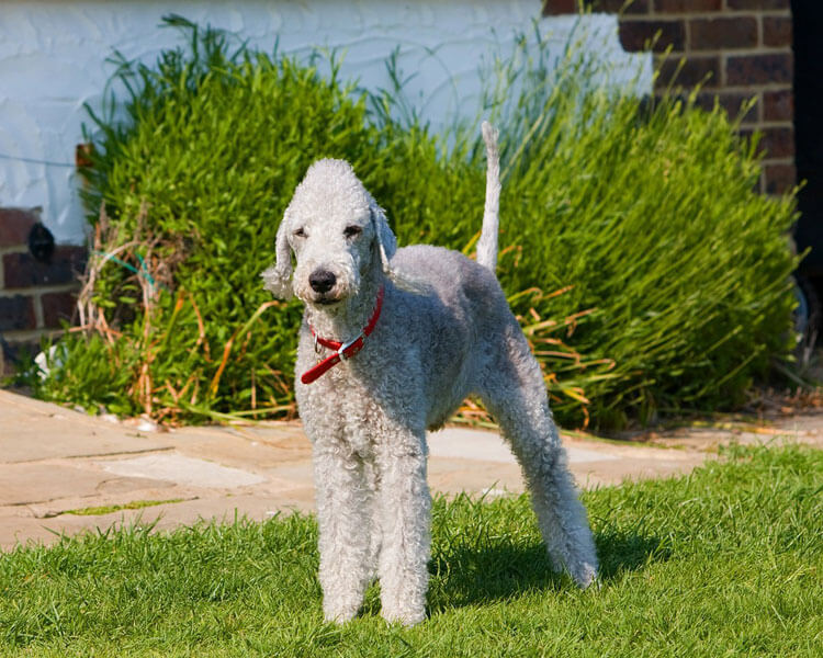 bedlington terrier, one of the most popular hypoallergenic dog breed