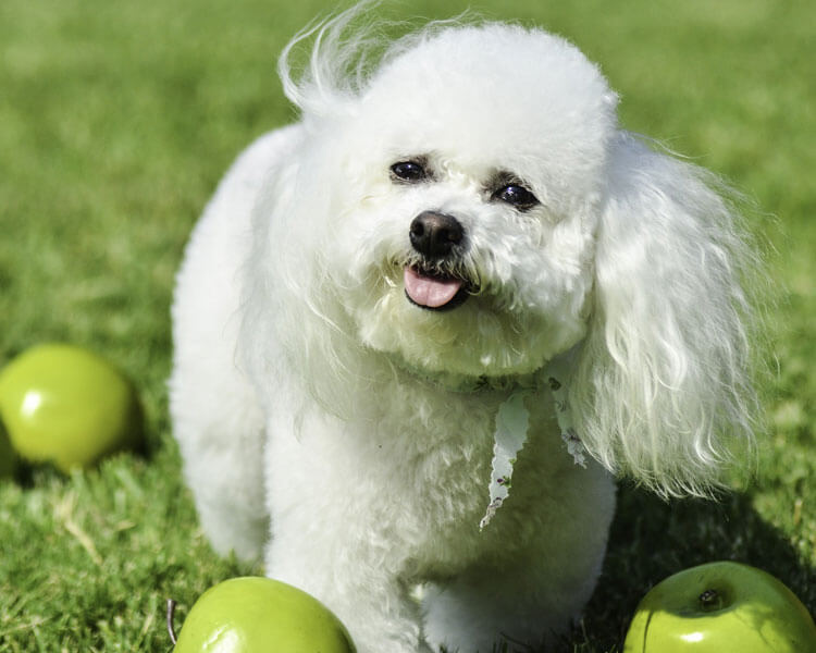 bichon frise, one of the most popular hypoallergenic dog breed