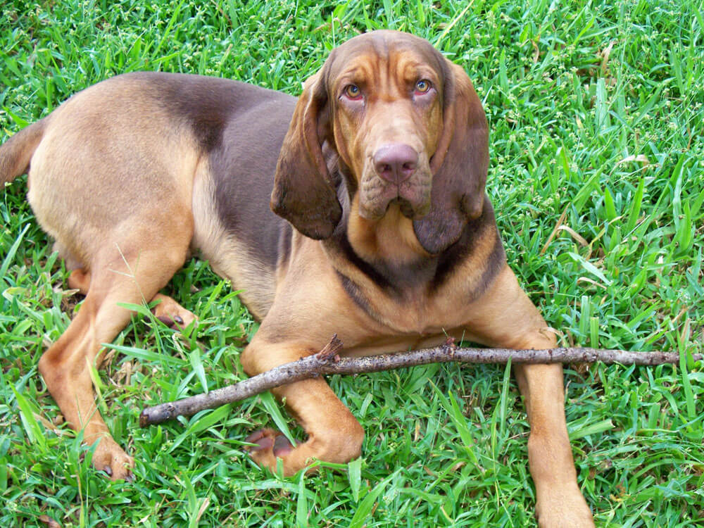 Bloodhound, one of the top gun dog breeds