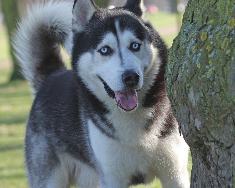 a blue eyed siberian husky hiding behind a tree