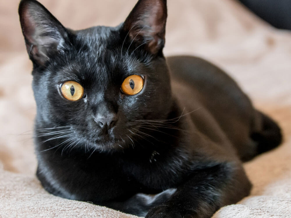 Bombay, one of the most famous black cat breed