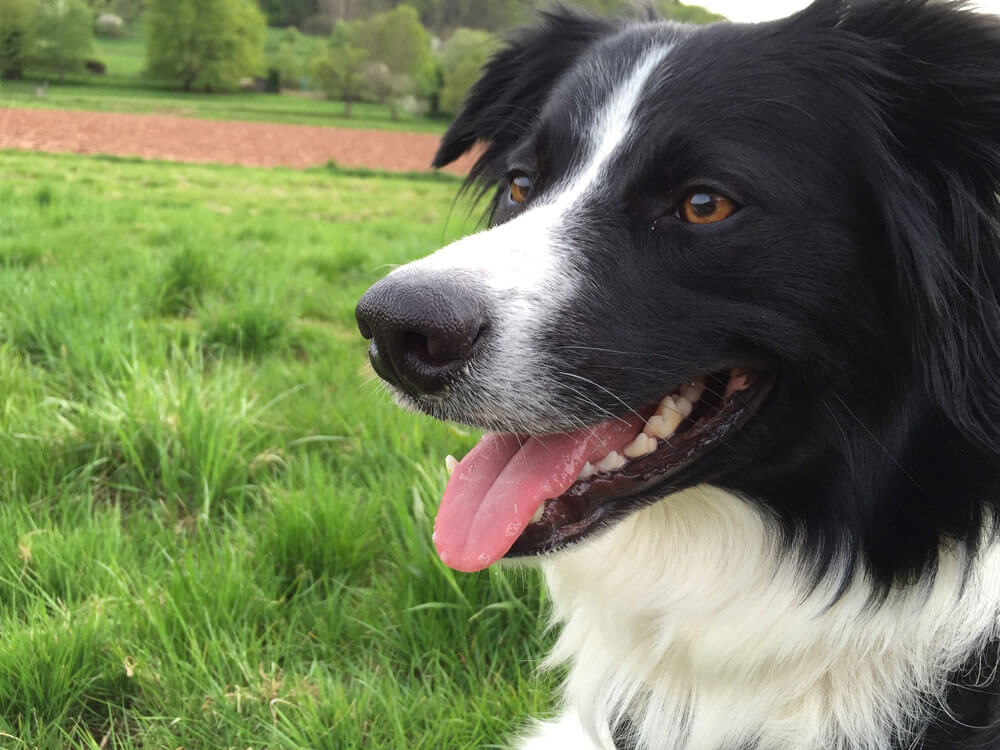 a grown border collie puppy sitting in the grass