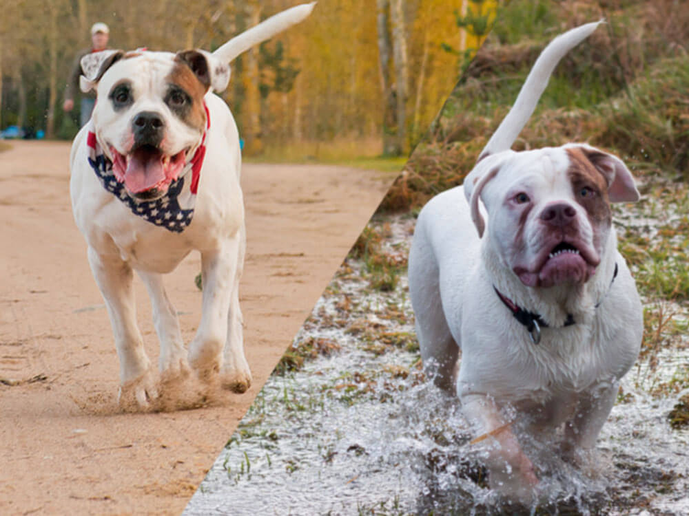 an american bulldog and old tyme bulldog running