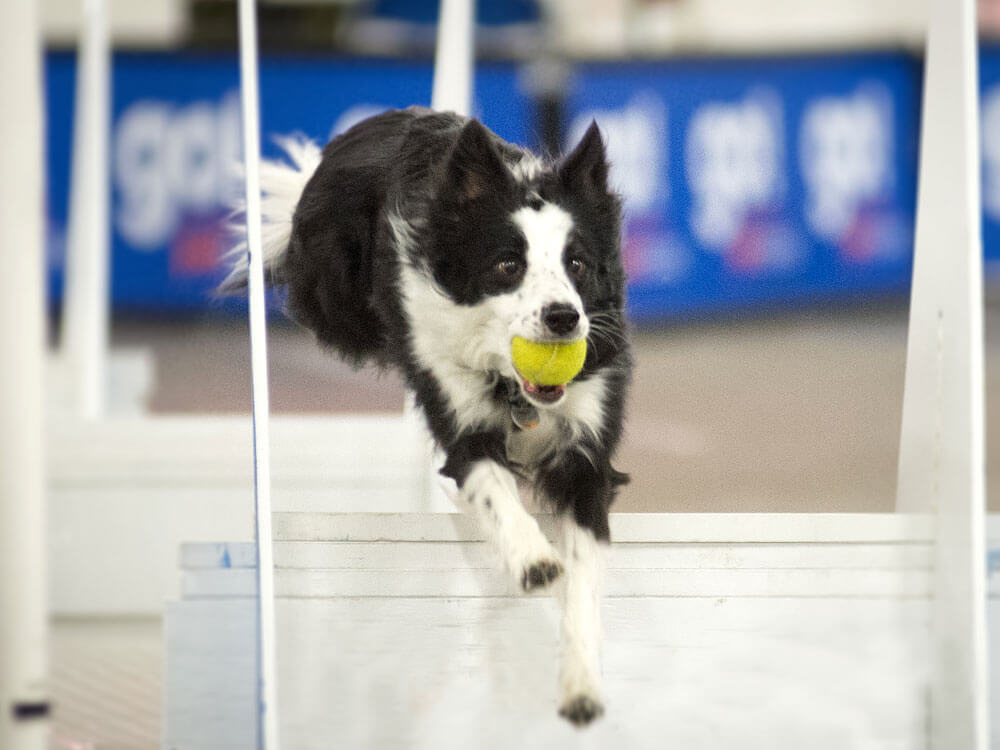 a border collie in a canine flyball competition