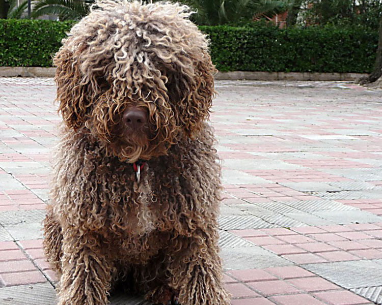 a cantabrian water dog sitting on the ground