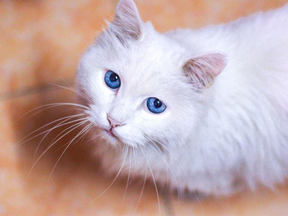 cat clicker training